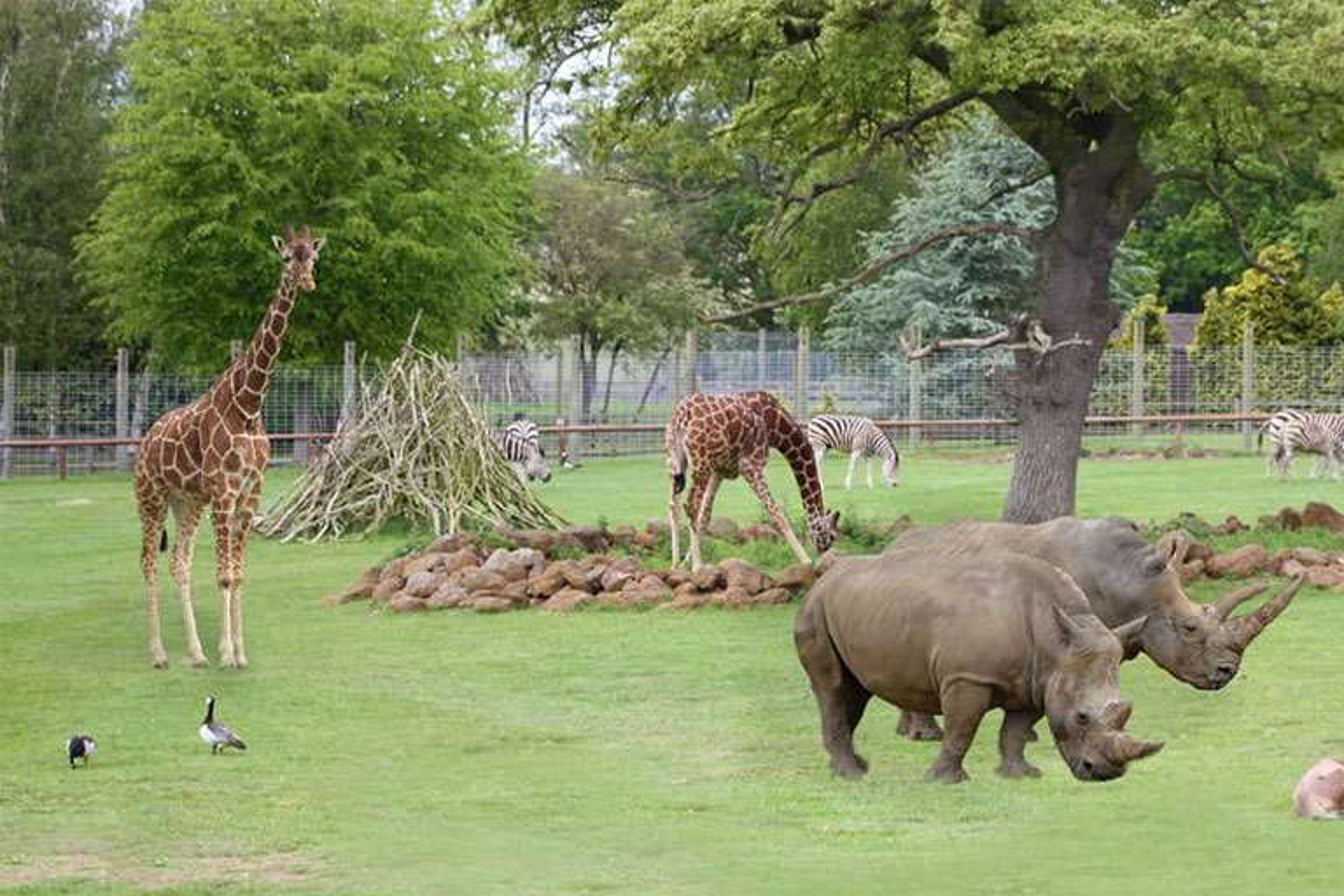 rhinos giraffes and zebras playing