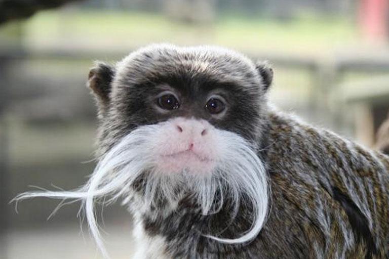 emperor tamarin monkey at battersea zoo