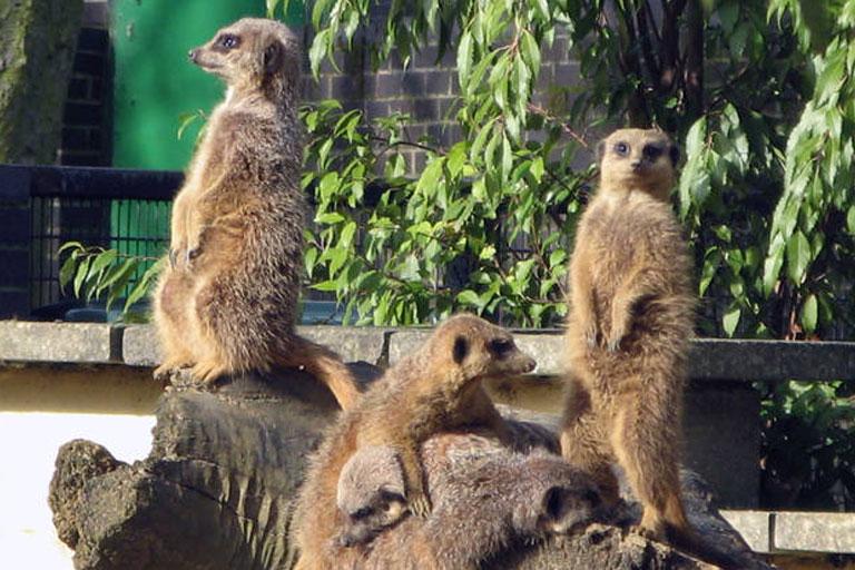 meerkats at battersea zoo