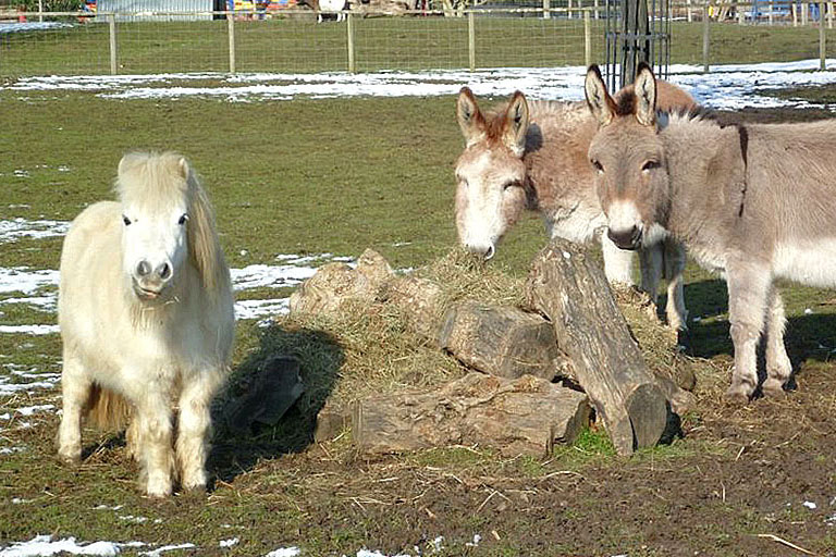 shetland ponies at battersea zoo