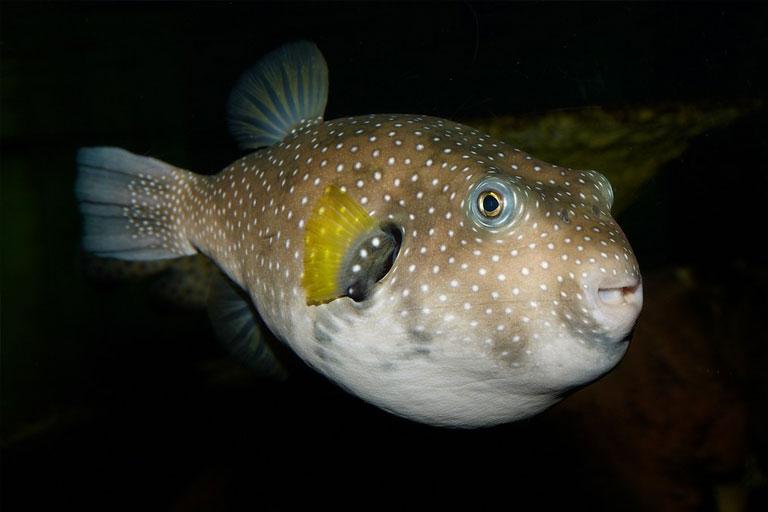 puffer fish at blue planet aquarium
