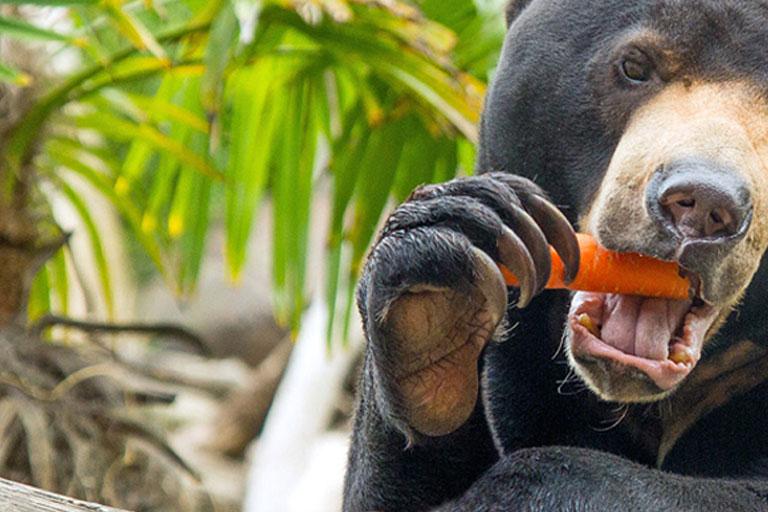 bear eating a carrot
