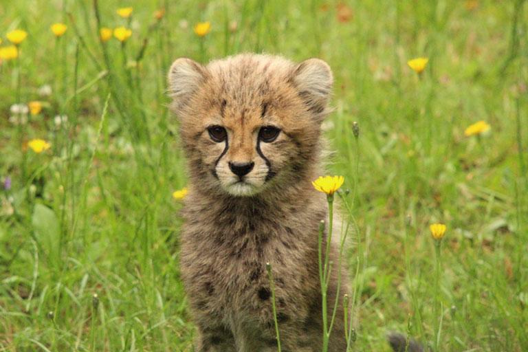 cheetah cub colchester zoo