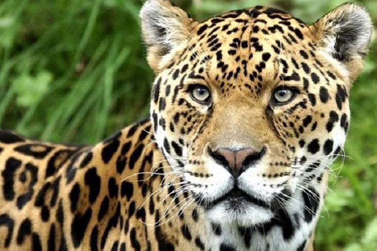 leopard dartmoor zoo