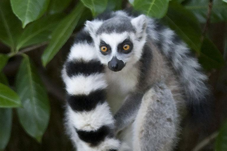 lemur at dartmoor zoo