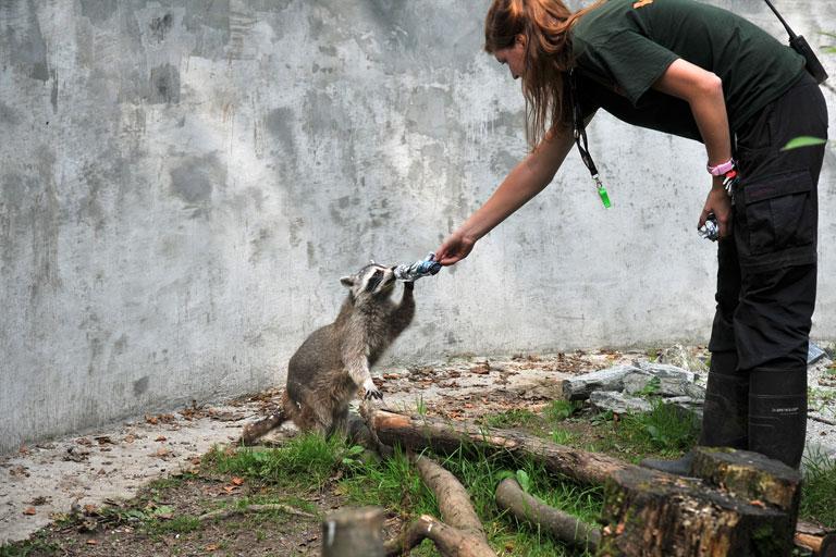 dartmoor zoo racoon