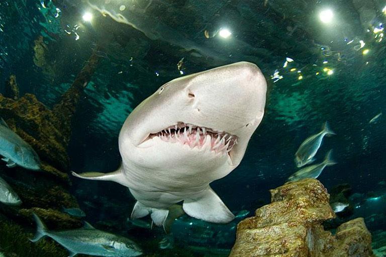 nurse shark deep sea world