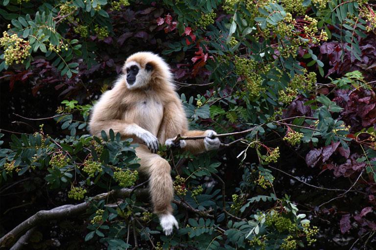 gibbon in a tree