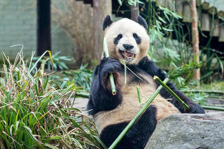 giant panda edinburgh zoo