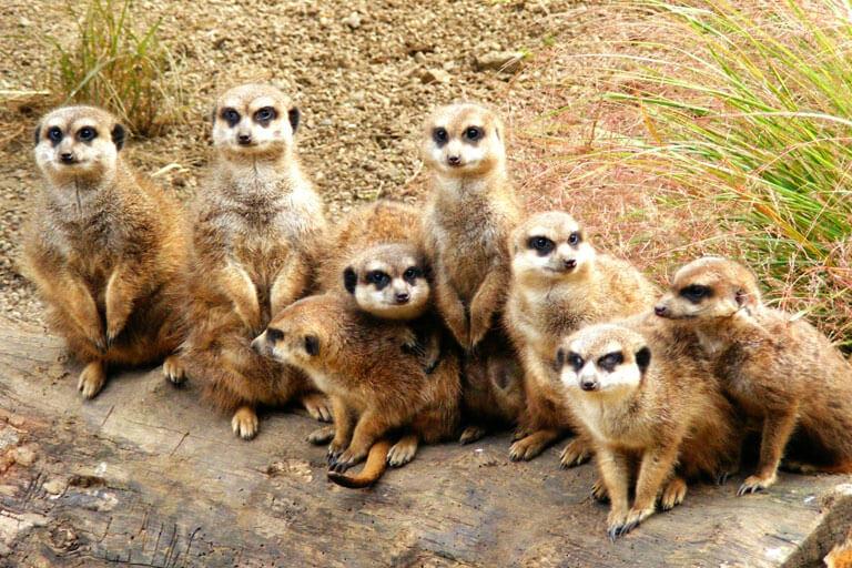 cheeky meerkats edinburgh zoo