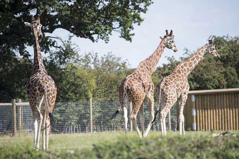 giraffes in field