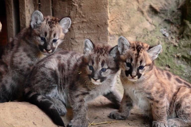 cheetah cubs exmoor zoo
