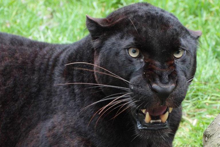 jaguar snarling