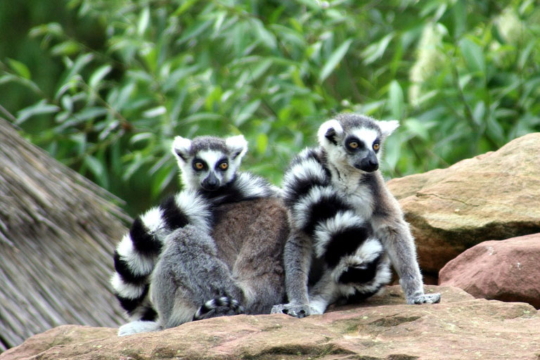 lemurs at exmoor zoo