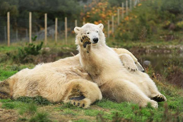 polar bears relaxing