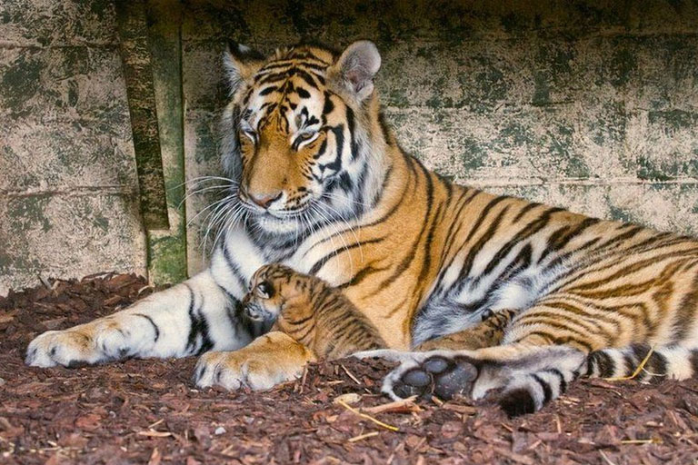 tiger with her cub highland wildlife park