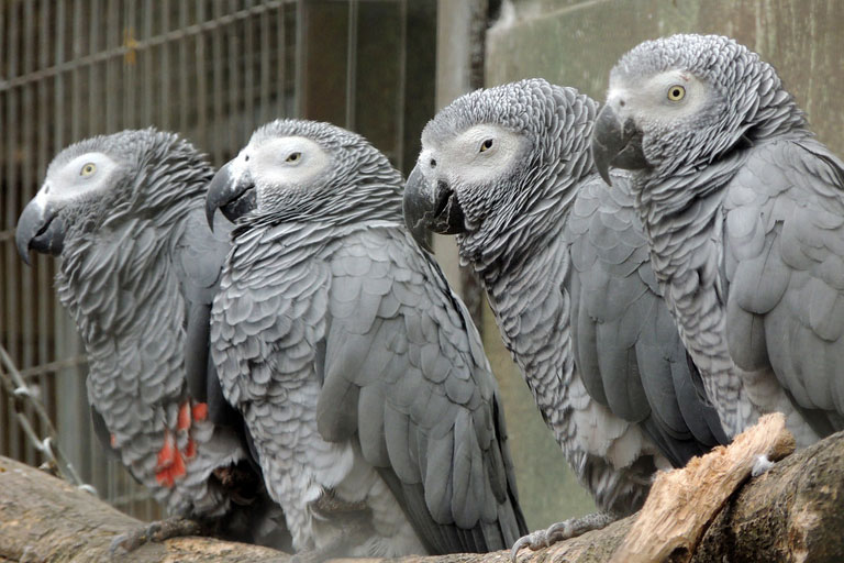 african grey parrots in a line