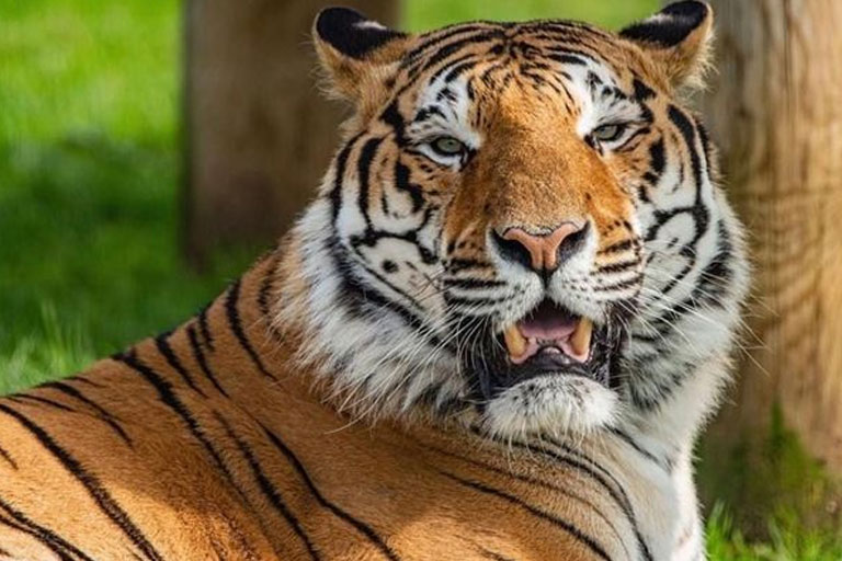 tiger yawning at lincolnshire wildlife park