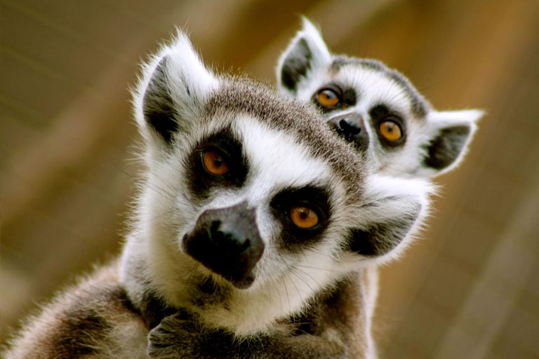 mother and baby lemur