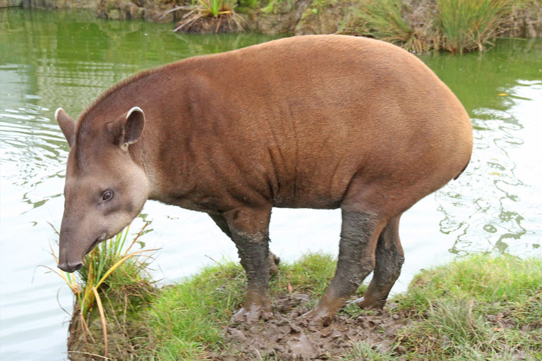 tapir at lincolnshire wildlife park