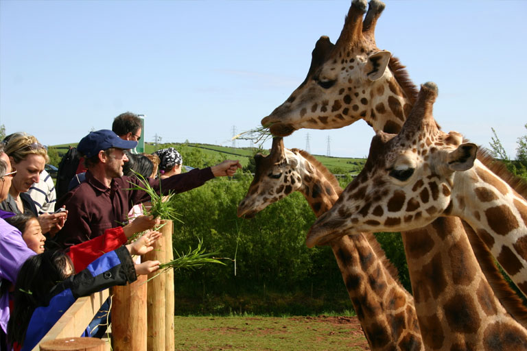 people feeding giraffes