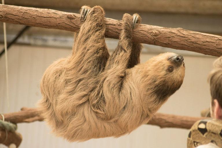 sloth at south lakes zoo