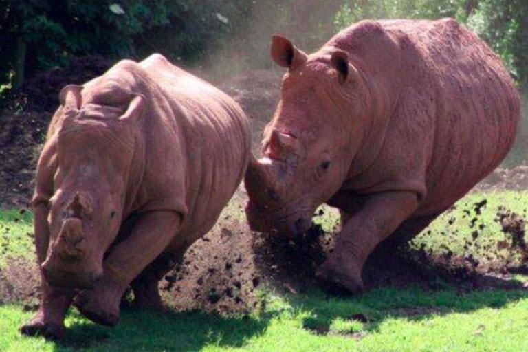 rhinos charging around pen