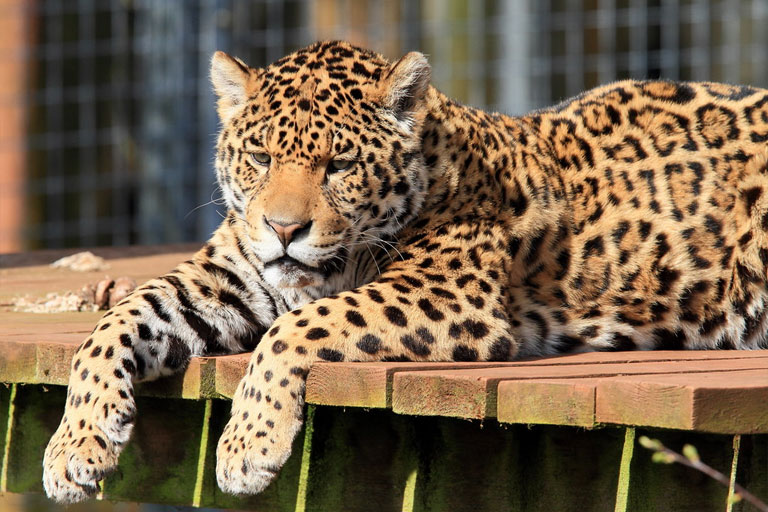 leopard at south lakes zoo
