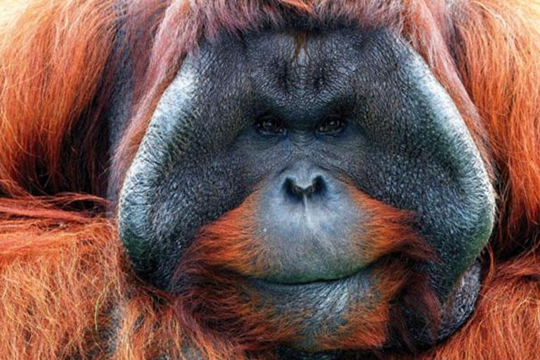 orangutan face close up