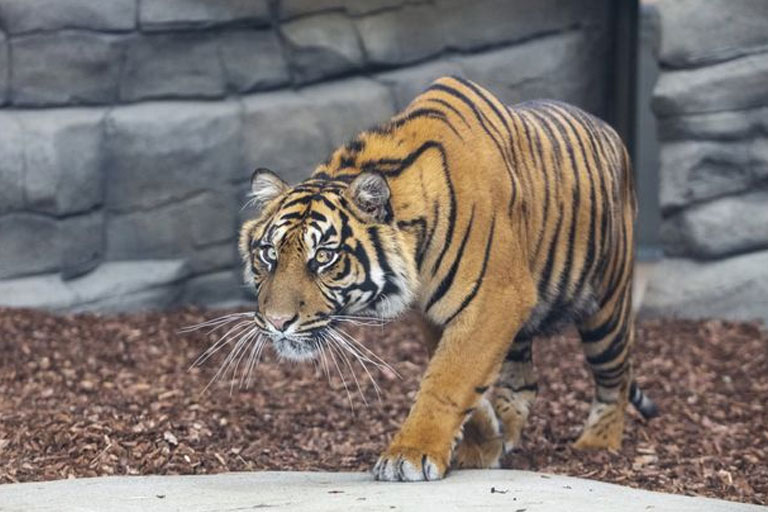 tiger at twycross zoo