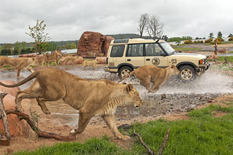 lion safari experience