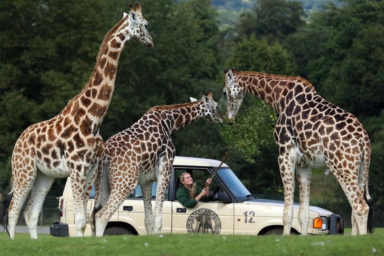 giraffes next to a car