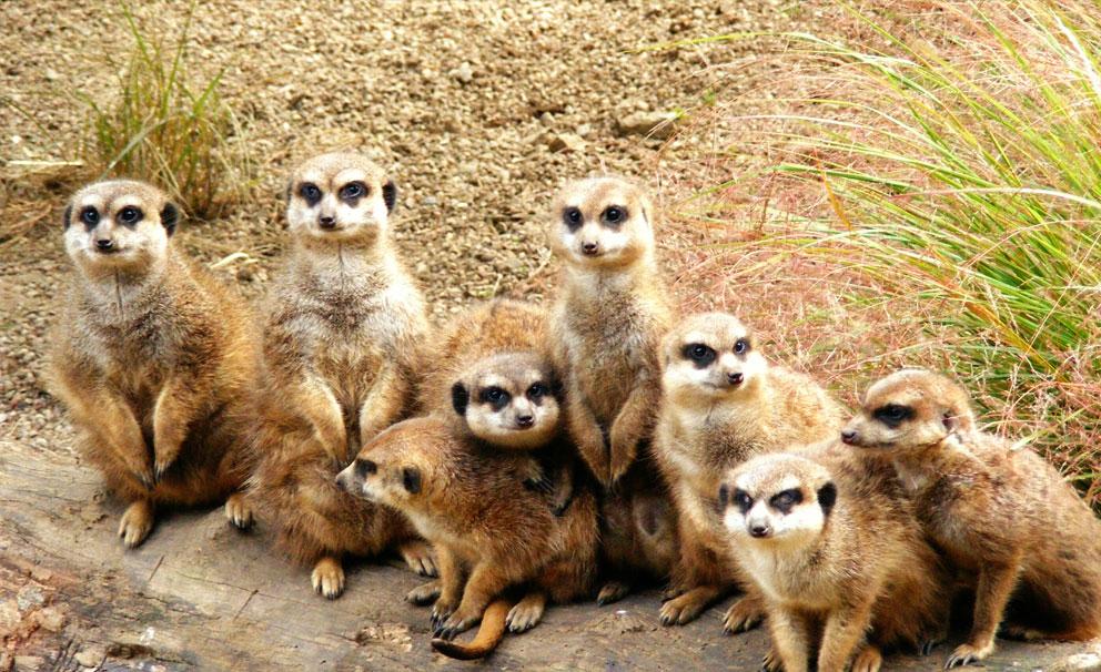 edinburgh zoo playful meerkats