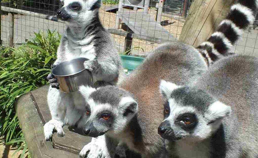 lemurs at battersea zoo